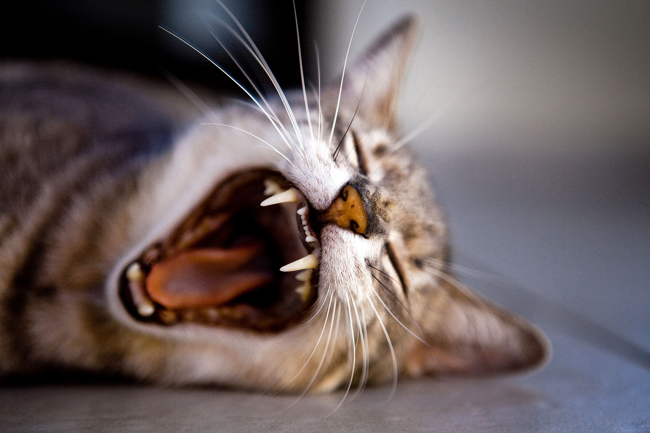 Image of a yawning cat